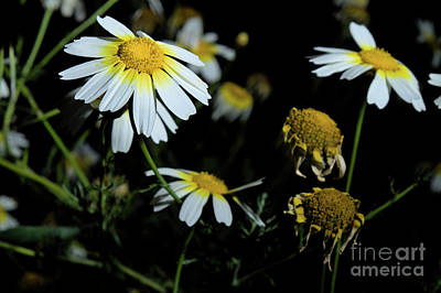 Photograph - Field of Daisies scene by Angelo DeVal