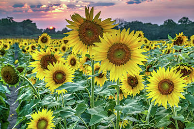 Royalty-Free and Rights-Managed Images - Field of Wild Sunflowers - Grinter Farm in Lawrence Kansas by Gregory Ballos