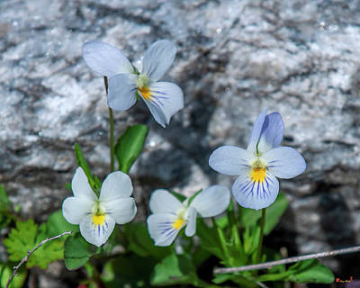 Photograph - Field Pansy DSPF0244 by Gerry Gantt