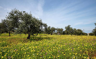 New Years Royalty Free Images - Field with yellow marguerite daisy blooming flowers and olive trees against and blue cloudy sky. Royalty-Free Image by Michalakis Ppalis