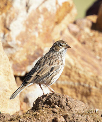 Steven Krull Royalty-Free and Rights-Managed Images - Finch posing in the Rockies by Steven Krull