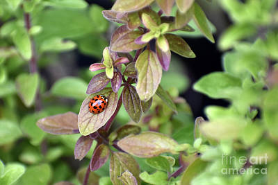 Photograph - First Ladybug of the Spring on Italian Oregano Plant by Rose De Dan