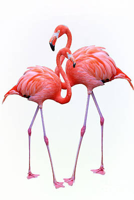 Door Locks And Handles Rights Managed Images - Flamingo Duo Couple On White Royalty-Free Image by Diann Fisher