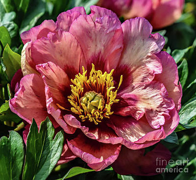 Studio Grafika Zodiac Rights Managed Images - Flawless Kopper Kettle Peony Royalty-Free Image by Cindy Treger