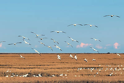 Angels And Cherubs - Flight of the snow geese by Geraldine Scull