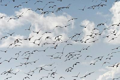 Sean - Flock Of Brent Geese In Flight by Neil R Finlay