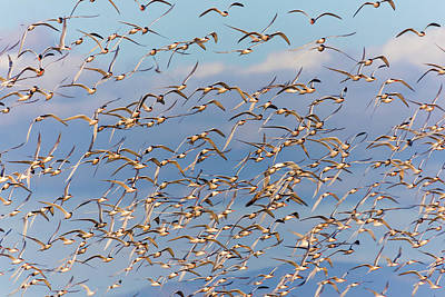Royalty-Free and Rights-Managed Images - Flock of Elegant Terns 12 by Brian Knott Photography