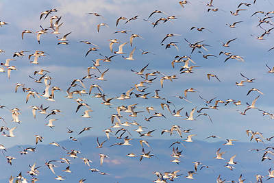 Royalty-Free and Rights-Managed Images - Flock of Elegant Terns 7 by Brian Knott Photography