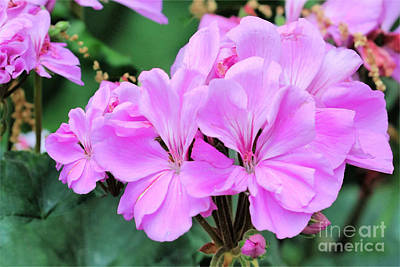 Amy Weiss - Flora In Pink And Purple by Diann Fisher