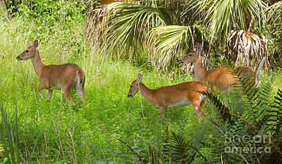 Royalty-Free and Rights-Managed Images - Florida deer by Carey Chen