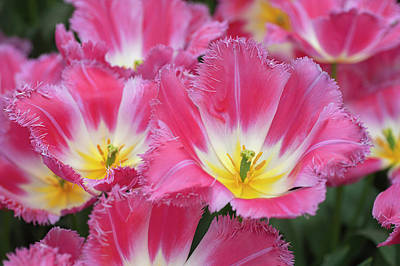 Royalty-Free and Rights-Managed Images - Flower Power. Fringed Tulipa Auxerre CloseUp by Jenny Rainbow