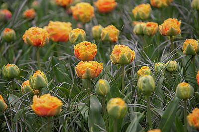 Sheep - Flower Power.  Tulipa Sensual Touch by Jenny Rainbow