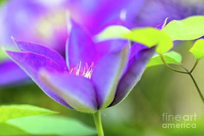 Ballerina Art - Flowering Purple Clematis by Janice Noto