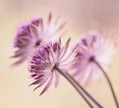 Old Masters Royalty Free Images - Flowers Astrantia Major Royalty-Free Image by Iwona Sikorska
