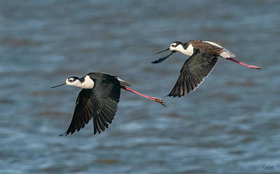 Winter Animals - Flying Black-necked Stilts by Judi Dressler