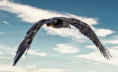 Photograph - Flying Eagle closeup by Diana Rothgeb