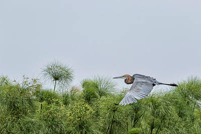 Animals Royalty-Free and Rights-Managed Images - Flying Giant Heron by Belinda Greb