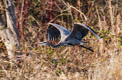 Royalty-Free and Rights-Managed Images - Flying Heron by Marv Vandehey