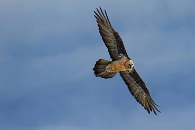Photograph - Flying lammergeier by Emmanuel Rondeau