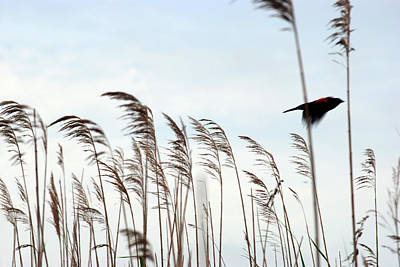 Photograph - Flying Red-winged Blackbird by Eileen Clark