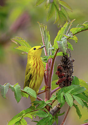 Have A Cupcake - Foraging Yellow Warbler by Dale Kincaid