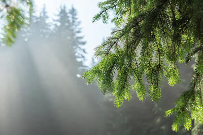 Unicorn Dust - Forest Bathing - Fog and Sunbeams Among the Pine Trees by Georgia Mizuleva