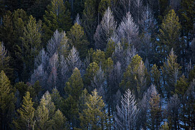 Photograph - Forest of Yellowstone by Emmanuel Rondeau