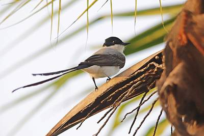 Spot Of Tea Royalty Free Images - Fork Tailed Flycatcher Panama Royalty-Free Image by Marlin and Laura Hum
