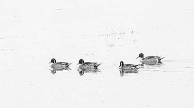 Animals Royalty-Free and Rights-Managed Images - Four Ducks Profile Black and White by Laurel Powell