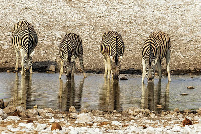 Aloha For Days - Four Plains Zebras at the Waterhole by Belinda Greb