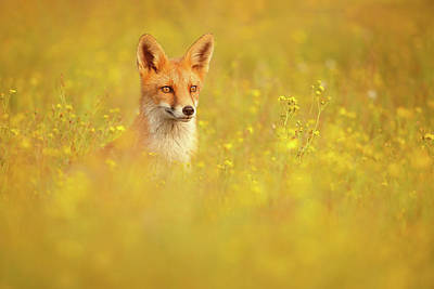 Photograph - Fox Bouquet - Red Fox In A Yellow Flower Bed by Roeselien Raimond