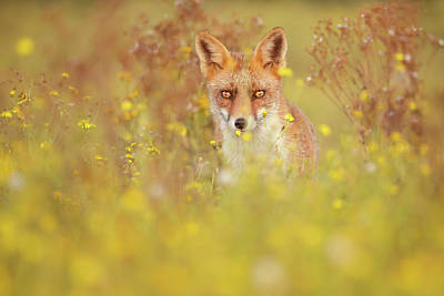 Photograph - Fox Bouquet - The Fox And The Flowers by Roeselien Raimond
