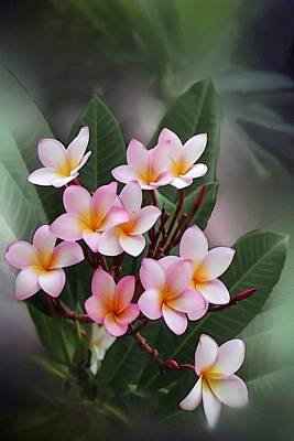 Achieving - Frangipani Flower Beauty L B by Gert J Rheeders