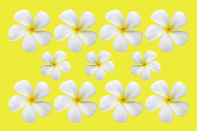 Photograph - Frangipani on Yellow by Kelley King