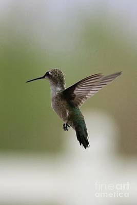 Antlers - Free and Easy Hummingbird by Carol Groenen