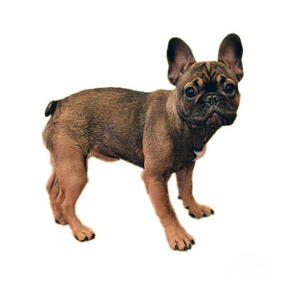Sean Rights Managed Images - French Bulldog Puppy Royalty-Free Image by Catherine Sherman