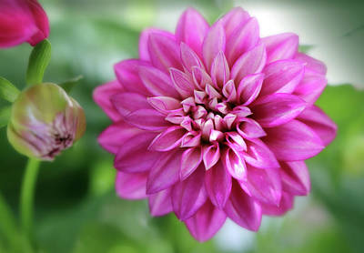 Design Pics - Fresh Dahlia And Dahlia Bud by Johanna Hurmerinta