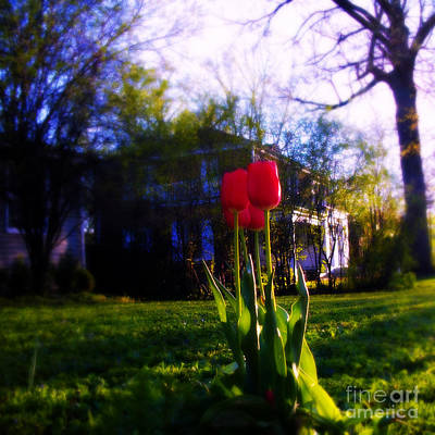 Frank J Casella Royalty-Free and Rights-Managed Images - Fresh Spring Tulips - Square by Frank J Casella