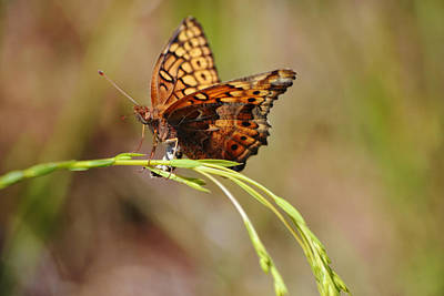 Animals Photos - Fritillary Butterfly Close Up on Oat Grass by Gaby Ethington