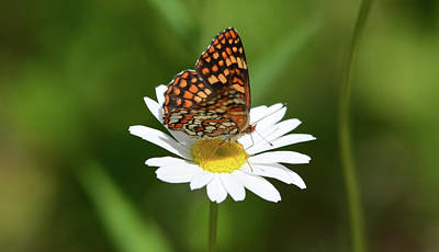 Af Vogue - Fritillary on a Flower by Whispering Peaks Photography