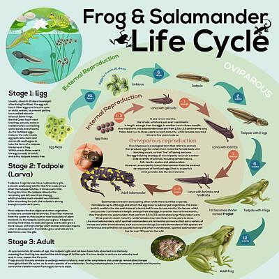 Keith Richards - Frog and Salamander Life Cycle by Gina Dsgn