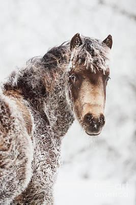 Photograph - Frosty Morgan Foal by Shelley Paulson