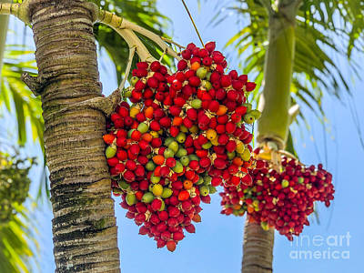 Photograph - Fruit of the Palm by Eddy Mann