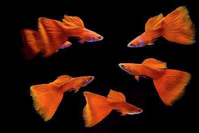 Animals Royalty-Free and Rights-Managed Images - Full Red Guppy Fish by Mircea Costina Photography