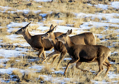 Steven Krull Royalty-Free and Rights-Managed Images - Galloping Herd of Mule Deer by Steven Krull