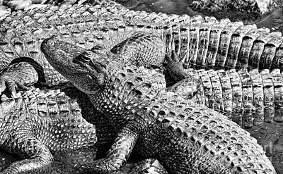World War 2 Action Photography Royalty Free Images - Gator Buddies Royalty-Free Image by Gary Richards