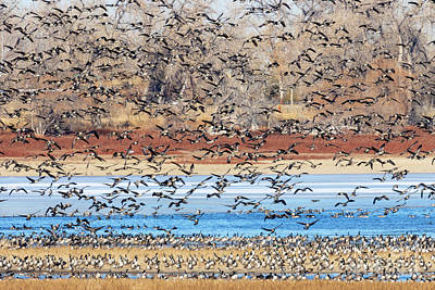 Recently Sold - Steven Krull Royalty-Free and Rights-Managed Images - Geese at Barr Lake by Steven Krull
