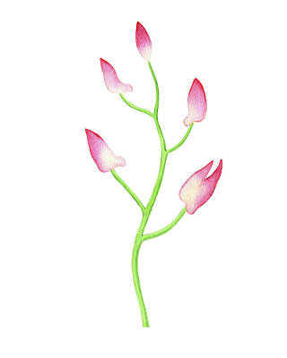 Royalty-Free and Rights-Managed Images - Gentle Pink Watercolor Orchid Flower Buds by Irina Sztukowski