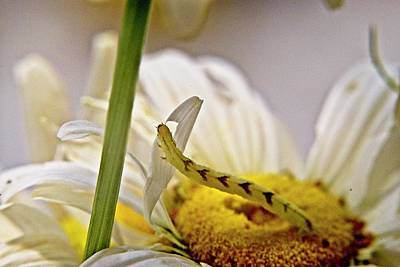 Have A Cupcake - Geometrid Larva Feeding on Daisy by Douglas Barnett