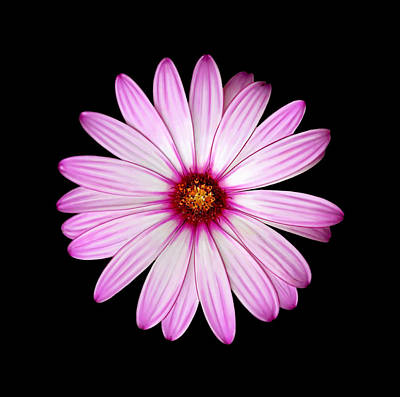 Urban Abstracts Royalty Free Images - Giant Daisy Royalty-Free Image by Lucy Goodwin